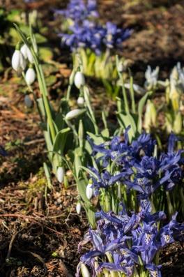 Snowdrops with irises