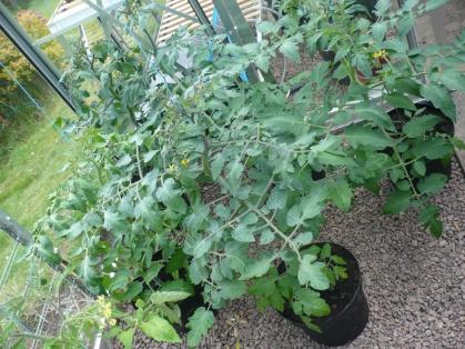 Tomatoes - yum!