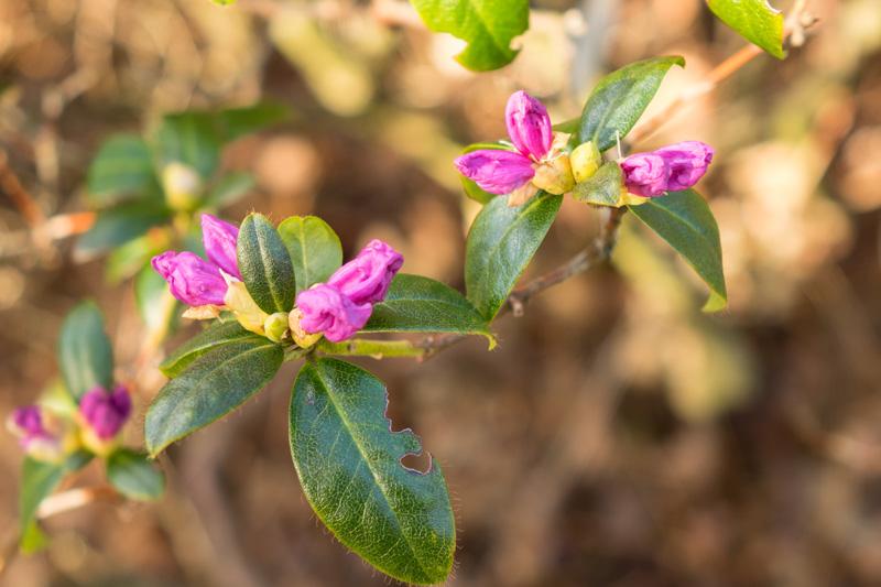 Rhododendrum 'Praecox'