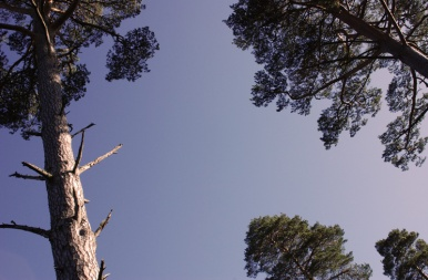 Scot's Pine in evening light