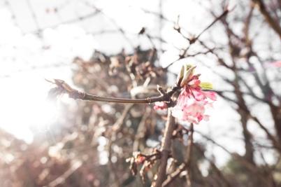 Viburnum x bodnantense farreri x grandiflora