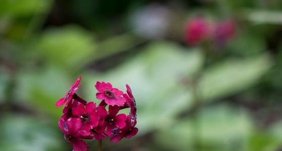 Dark pink Candelabra Primula