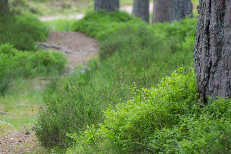 Vaccinium myrtillusand Calluna vulgarisundergrowth (Heather and Blaeberries)