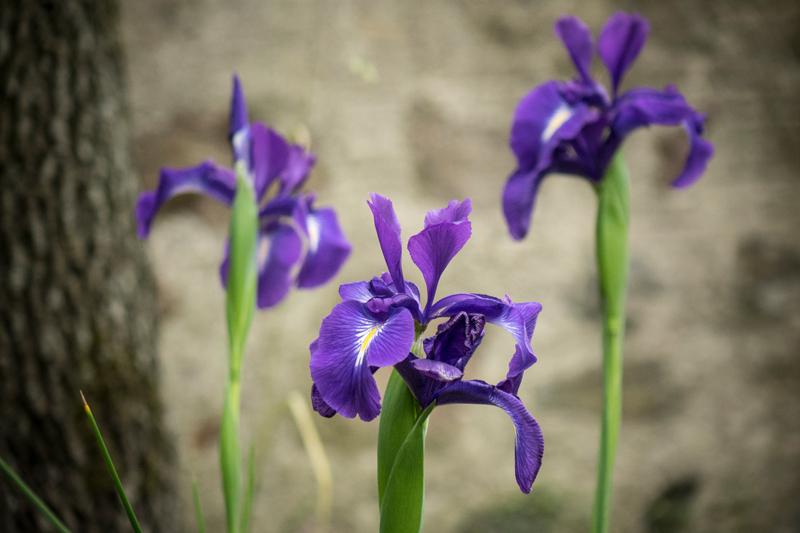 Iris sibirica - Siberian Flag Iris