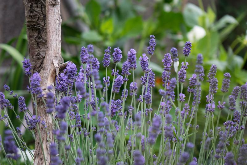 Lavendula - Lavender